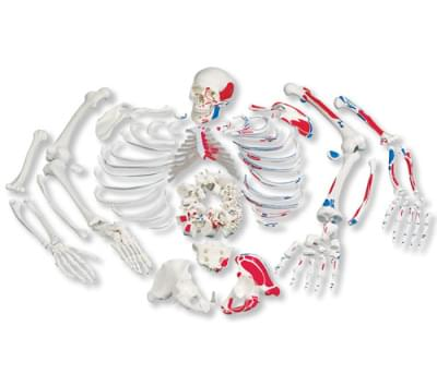 A05/2 - Disarticulated Full Human Skeleton with painted muscles, with 3 part skull