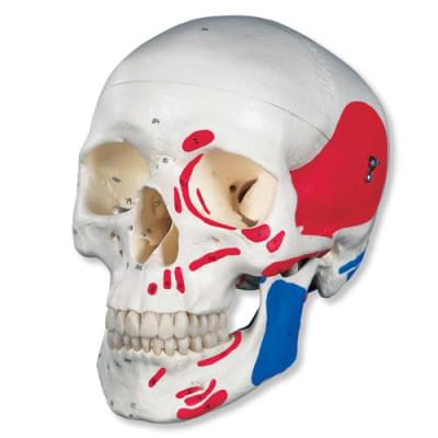 A23 - Classic Human Skull Model, painted, 3 part