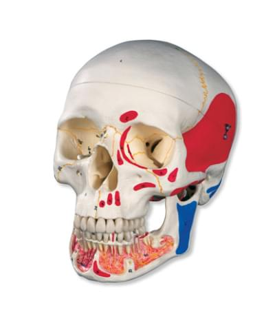 A22/1 - Classic Human Skull Model with Opened Lower Jaw, 3 part, painted