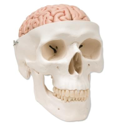 A20/9 - Classic Human Skull Model with 8 part Brain