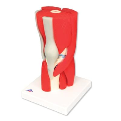 A882 - Knee Joint with Removable Muscles, 12 part