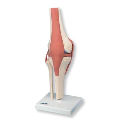 A82/1 - Deluxe Functional Knee Joint Model