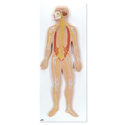 C30 - Nervous System, 1/2 life size