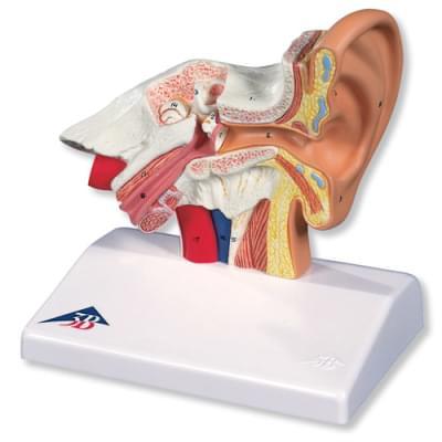 E12 - Stolní model ucha, 1,5 krát zvětšený