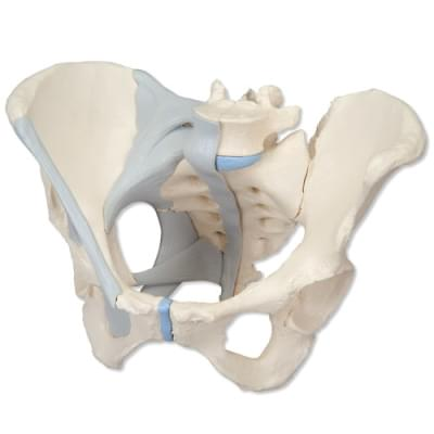 H20/2 - Female Pelvis with Ligaments, 3 part