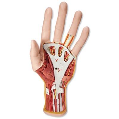 M18 - Internal Hand Structure Model, 3 part