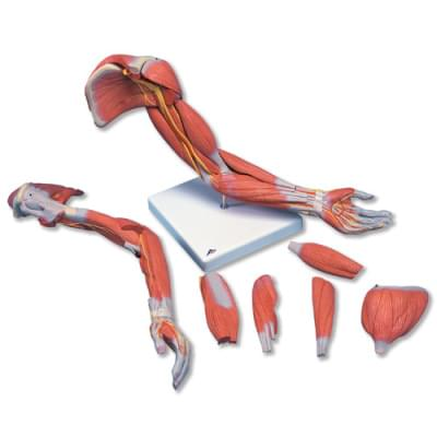 M11 - Deluxe Muscle Arm, 6 part, Life Size