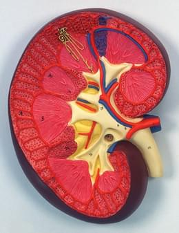 K10 - Kidney Section, 3 times full-size