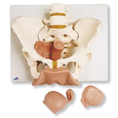 L31 - Female Pelvis Skeleton with Genital Organs, 3 part