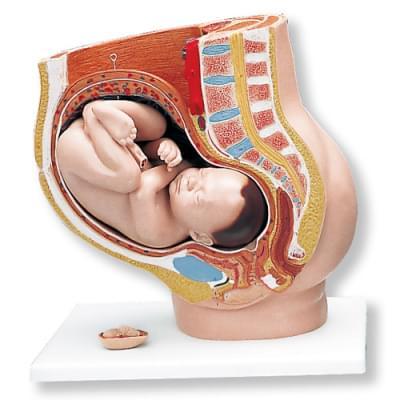 L20 - Pregnancy Pelvis, 3 part