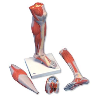 M22 - Lower Muscle Leg with detachable Knee, 3 part, Life Size