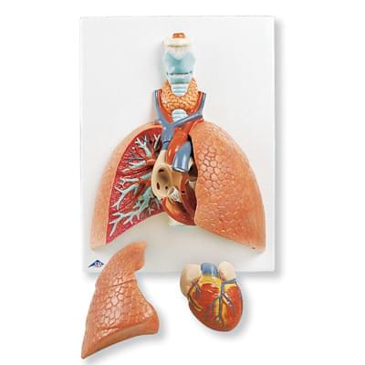 VC243 - Lung Model with Larynx, 5 part