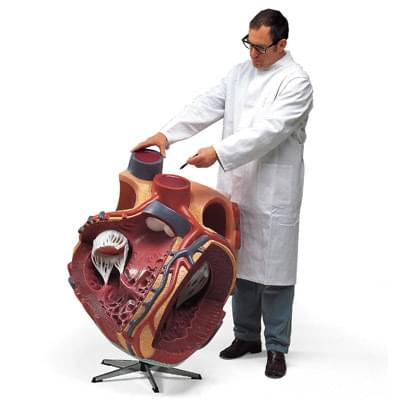 VD250 - Obří model srdce, 8 krát zvětšený