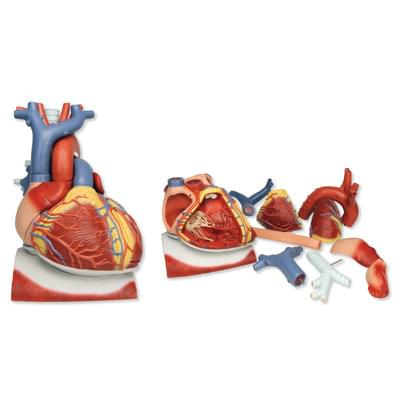 VD251 - Heart on Diaphragm, 3 times life size, 10 part