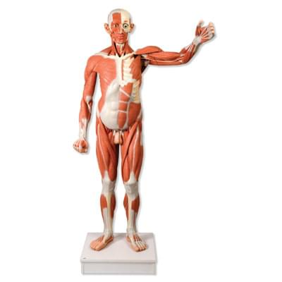 VA01 - Life size Male Muscular Figure, 37-part