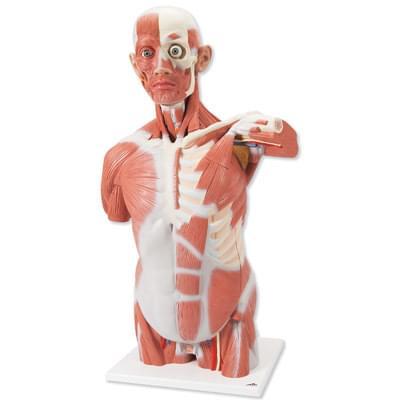 VA16 - Life size Muscle Torso, 27 part