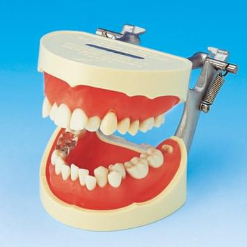 Tooth Brushing Demonstration Model PE-STP001