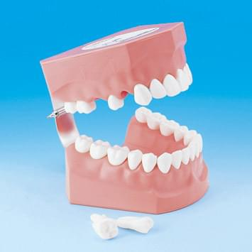 Tooth Brushing Demonstration Model PE-STP002