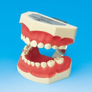 Tooth Brushing Demonstration Model PE-STP003