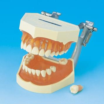 Study Model with Removable Teeth (Transparent) PE-ANA001