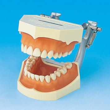 Study Model with Removable Teeth (Pink silicone gingiva) PE-ANA002