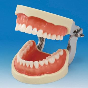 Prosthetic Restoration Jaw Model (32 teeth) - gingiva for silicone impression