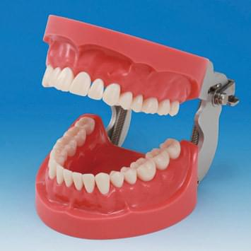 Hard Gingiva Jaw Model (32 teeth)
