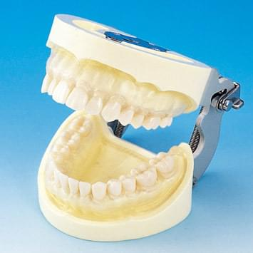 Prosthetic Restoration Jaw Model (28 teeth) - clear gingiva