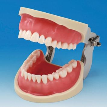 Operative Jaw Model (32 teeth)