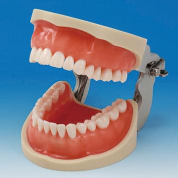 Operative Jaw Model (32 teeth) - for silicone impression