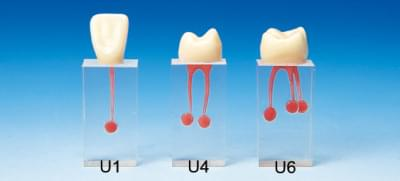 Root Canal Model S7 Series (3 blocks set)