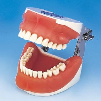 Oral Surgery Jaw Model
