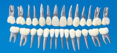 Typodont Tooth Model B9-500 (28 teeth set)