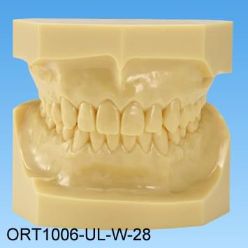 Resin Malocclusion Model (normal occlusion)