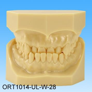 Resin Malocclusion Model (class III reversed occlusion)