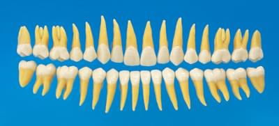 Anatomical Tooth Model B3-305 (32 teeth set)