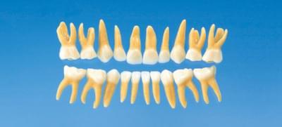 Anatomical Primary Tooth Model B4-309B (20 teeth set)