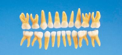 Anatomical Primary Tooth Model B4-309 (20 teeth set)