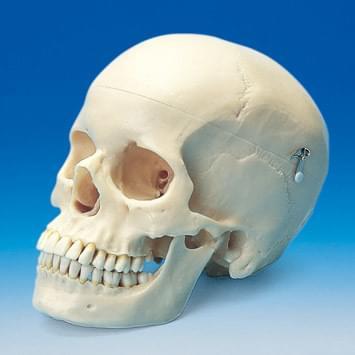Skull Model ANA1003-T