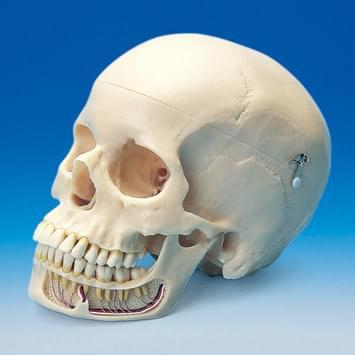 Skull Model ANA1004-T