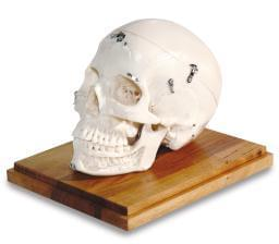 MDO-71 - White Skull