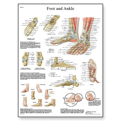 VR1176UU - Foot and Joints of Foot