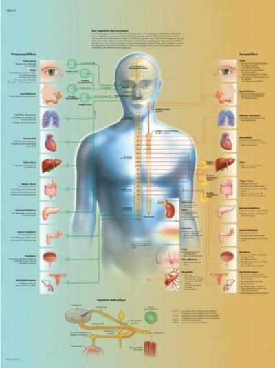 VR1610L - The Vegetative Nervous System