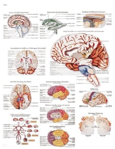 VR1615L - The Human Brain