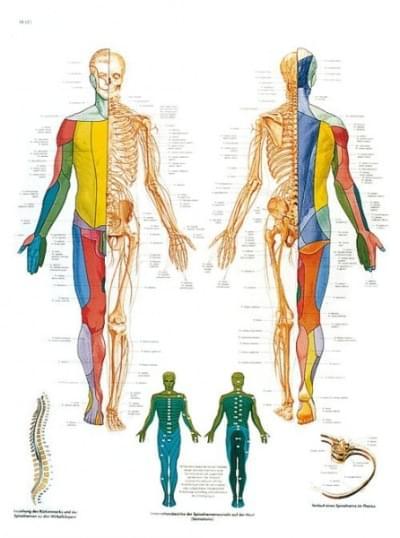 VR1621L - The Spinal Nerves