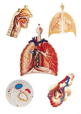 V2036U - Respiratory Organs