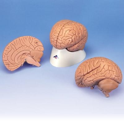 C15/1 - Introductory Brain Model, 2 part