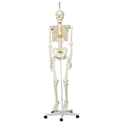 A10/1 - Human Skeleton Model - Stan - on hanging 5 foot roller stand