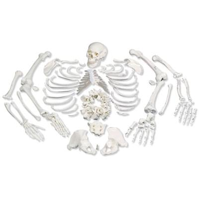 A05/1 - Disarticulated Full Human Skeleton with 3 part skull