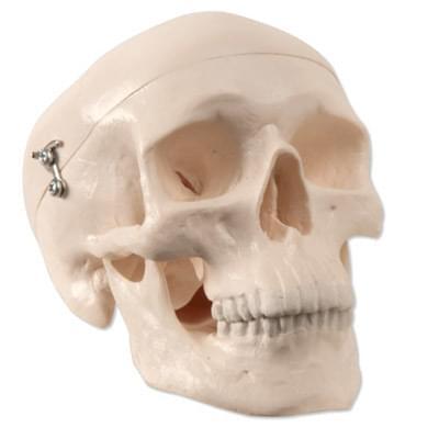 A18/15 - Mini Human Skull Model, 3 part - skullcap, base of skull, mandible
